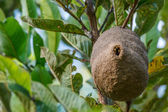 Wasp Honeycomb Nest on Tree Branch — Stockfoto