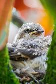 ロビン鳥その母によって供給 — ストック写真