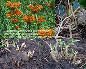 Dried leonotis leonorus plant — Stock Photo