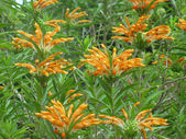 Leonotis leonorus flowers — Stock Photo
