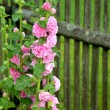 Stock Photo: FLOWER BEHIND STOCKADE