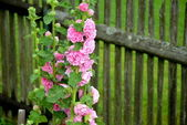 FLOWER BEHIND STOCKADE — Stock Photo