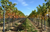 AUTUMN VINEYARDS — 图库照片
