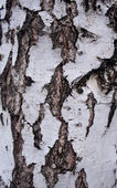 Black-and-white bark of a birch — Stock Photo