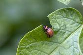 Plagas de escarabajo — Foto de Stock