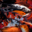 Koi carp — Stock Photo