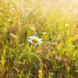 Summer sunny meadow and white dandelion — Stock Photo