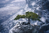 Pine-tree on snowy rocky hills of Crimea mountains — Stock Photo