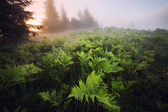 Fern meadow at foggy sunrise — Foto Stock