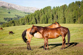 Horses at high mountains meadow — Stock Photo