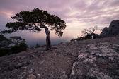Old juniper tree on rocky coast of Black sea — Stock Photo