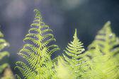 Liść paproci — Zdjęcie stockowe