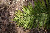 Fern leaf — Stockfoto