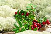Sweet lingonberries — Stock Photo