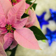 Pink poinsettia flower... — Stock Photo