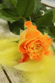 Yellow rose and feathers — Stock Photo