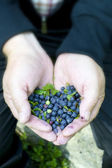 Hands full of blueberries — Stock Photo
