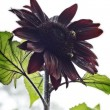 Red sunflower on a hazy morning — Stock Photo