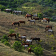 Stock Photo: Horses on a hillside
