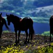 American wild mustang horses - Stok fotoraf