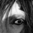 The eye of a wild mustang horse - Stockfoto