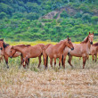 Stock Photo: Americwild mustang horses