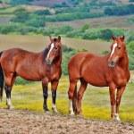 Постер, плакат: American wild mustang horses