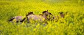 Through the mustard plant field — Stock Photo