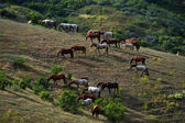 Horses on a hillside — Stock Photo