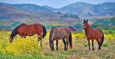 American wild mustang horses — Stock Photo