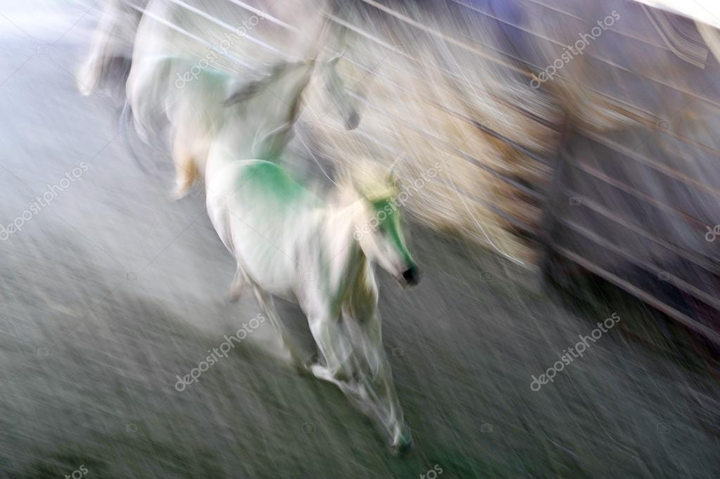 Two white horse in a purposefully timed exposure. Blurred effect of motion, power, and beauty. — Stock Photo #14074541