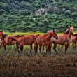 Stock Photo: AmericWild Mustangs