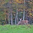 Stock Photo: Deers during rutting season in Autumn Fall