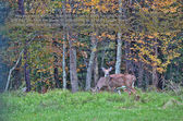 Deers during rutting season in Autumn Fall — Стоковое фото