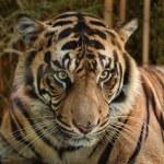 Постер, плакат: Sumatran Tiger
