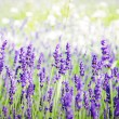 Stock Photo: Spring field with lavender flowers