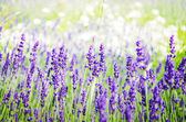 Spring field with lavender flowers — Stock Photo