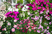 Flower shop with pink and white plants — Stock Photo