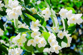 Brightly lit spring branch with white flowers — Stock Photo