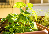 Basil herb growing in pot — Stock Photo