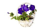 Blauwe bloem opgehangen in mand geïsoleerd op witte achtergrond — Stockfoto