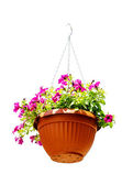 Pink flower hanged in pot isolated on white background — Stock Photo