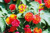 Bright and fresh red and orange lantana flowers — Stok fotoğraf
