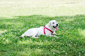 White dog relaxing at the green grass — Stock Photo