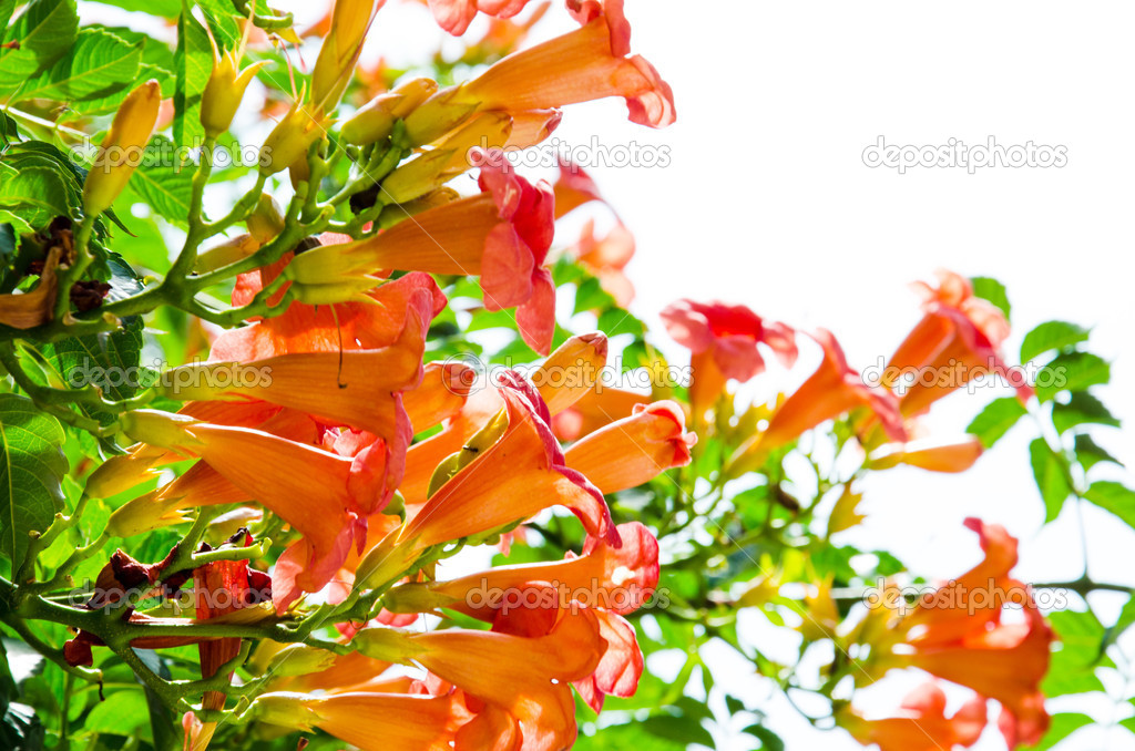 campsis radicans fleur trompette orange m diterran enne photographie tairen10 27269479. Black Bedroom Furniture Sets. Home Design Ideas