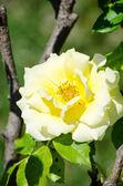 Bello rosa amarilla fresca en el jardín — Foto de Stock