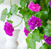 Pink geranium flowers — Stock Photo