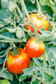 Tomatoes growing on branch — Stock Photo