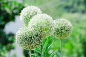 Group of white onion flowers — Stock Photo