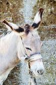 Head of donkey — Foto Stock